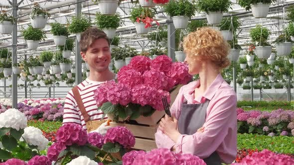 Two Workers Who Work Together in a Flower Center Collect for Sale Purple Hydrangea Flower in a