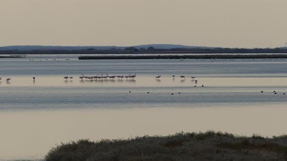Thumbnail for Flamingos at lake in Ethniko Ygrotopiko Parko Delta Evrou