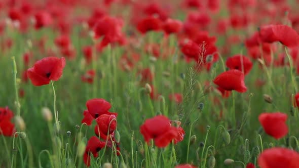 Thumbnail for Red Poppies Field. Poppy Flowers Field. Poppy Flowers Swaying, Fluttering in The Wind