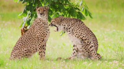 Cheetahs Yawning on Field in Forest