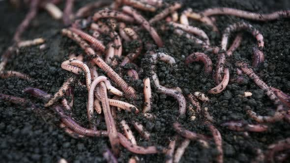 Earthworms for Fishing Move and Crawl in the Ground
