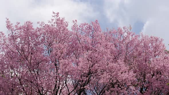 Thumbnail for Cherry Blossom Tree With Clouds In Spring