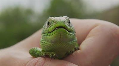 Wildlife Nature Lizard Close Up. Reptile. Reptile Eye. Lizard, Gecko Baby Lizard in Hand.