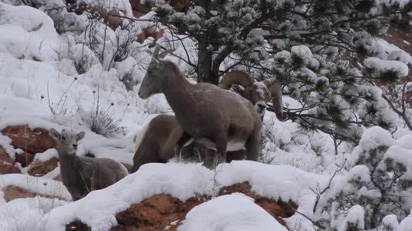 Bighorn Sheep Ram Ewe Male Female Adult Several in Winter in South Dakota