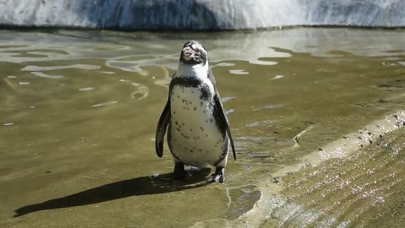 Thumbnail for Penguin