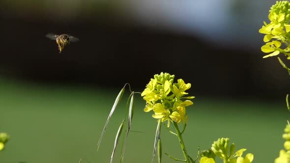 Thumbnail for Flying Bee Extracting Pollen from the Flowers