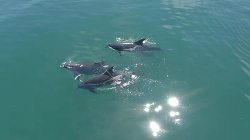 A Pod of Wild Dolphins and a Calf Swimming in the Ocean