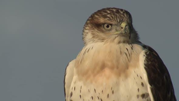 Swainsons Hawk Immature Lone Looking Around in Autumn in South Dakota