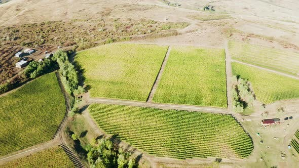 Cover Image for Beautiful Drone Shot of Big Vineyard in Warm Sun Light