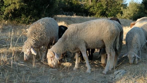 Sheep Grazing Field