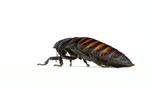 Cockroach Crawls From Side To Side