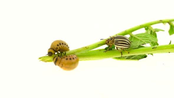 Thumbnail for Colorado Beetle and Larvae Eat Potato Stalk on a White Background