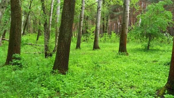 Thumbnail for Green Forest. Woodland Landscape. Steadicam Shot