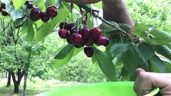 Thumbnail for Cherry Picking