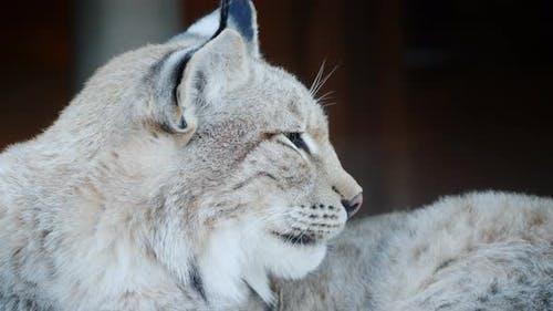 Seitenansicht eines Pumas, Gesicht eines Raubkatze