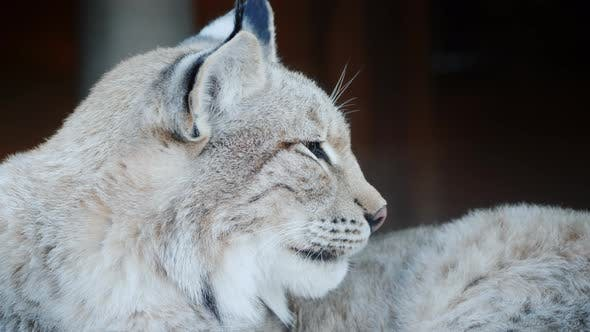Thumbnail for Side View of a Cougar, Face of a Predatory Cat