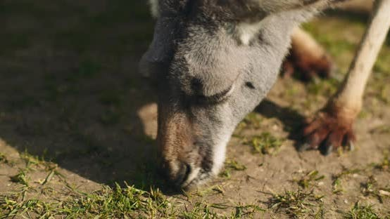 Thumbnail for Adult eastern grey kangaroo eating grass from the ground, BMPCC 4K