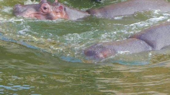Two Hippopotamus in Water, Wild Hippos Flock in Zoo, Danger Animals Close Up.