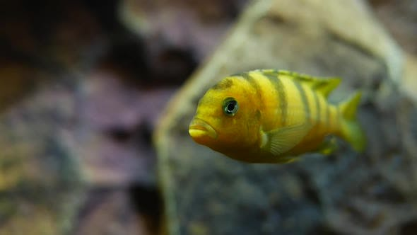 Yellow Fish Swimming With Stripes In Water Tank