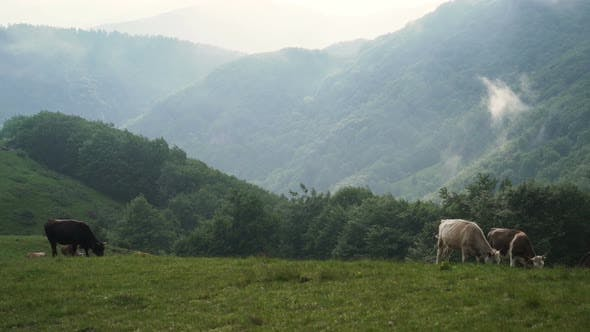 Thumbnail for Dairy Cows on Pasture in The Mountains. Green Hills in Hot Summer Day