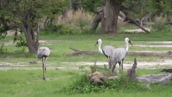 Thumbnail for Three wattled crane birds walking around