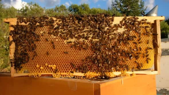 Thumbnail for Bees Convert Nnectar Into Honey