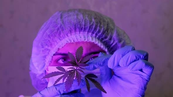 Closeup of a Female Biologist Conducting a Study of a Cannabis Bush