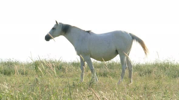 Thumbnail for White Horse Posing On The Field
