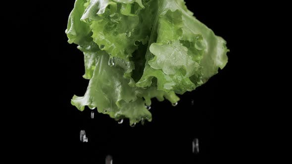 Lettuce Dripping With Water - Vegetables Health Nutrition
