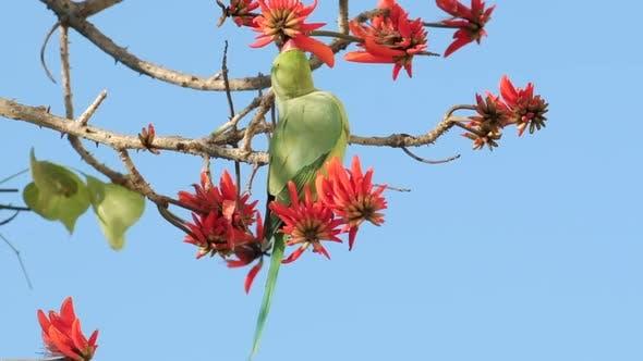 Des images au ralenti d'un perroquet vert boit nectar de fleurs rouges