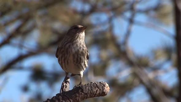 Pine Siskin Adult Lone Perched in Winter in South Dakota