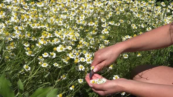 Thumbnail for Kamille oder Anbau eines Heilkräutergartens 11