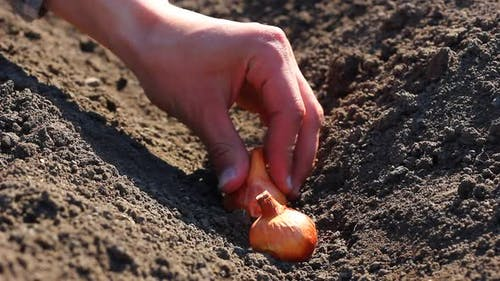 a Man Plants Small Onion Bulbs in Black Soil in the Spring Season in a Gray Checkered Shirt in Sunny