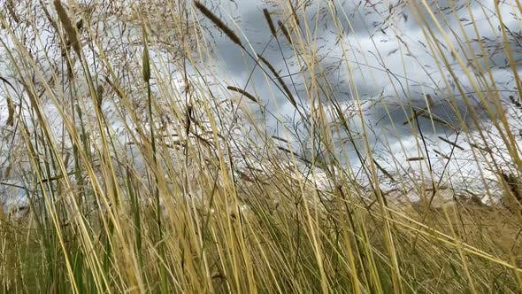 Dry Rushes Waving in Wind on Swamp Under Grey Sky Closeup
