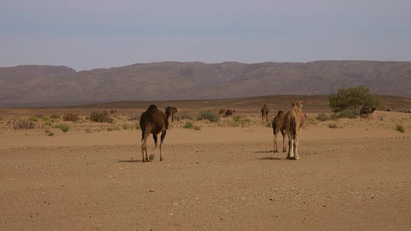Thumbnail for Group of Camels Walking in Sahara Desert