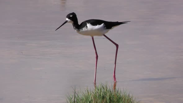 Hawaiian Stilt Adult Alone Eating Feeding in Hawaii