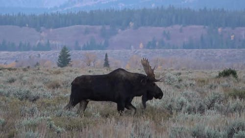 Bull moose walking through field after battle with one antler