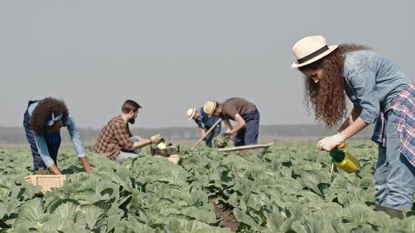 Thumbnail for Young Farmers Harvesting Cabbages