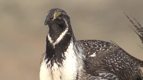 Sage Grouse Cock Male Adult Lone in Spring in Wyoming United States