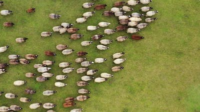 Flock of Sheep in a green meadow. Aerial view of a farm with sheeps.