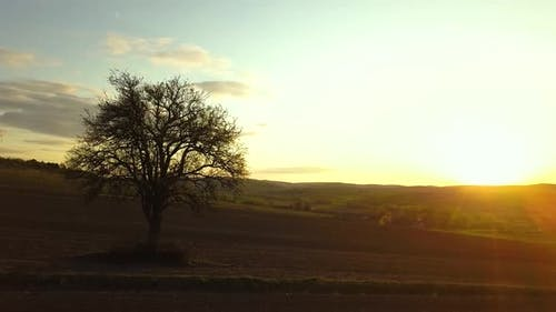 Big green tree growing alone in spring field in orange evening sunlight at sunset.