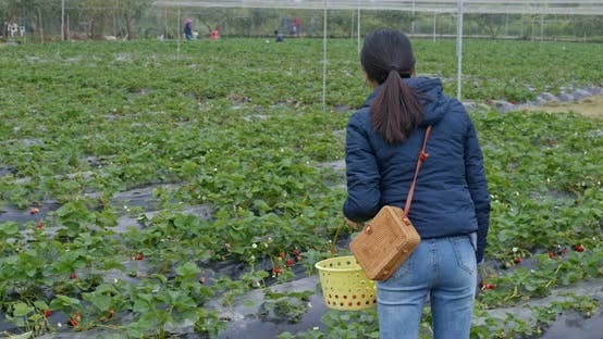 Thumbnail for Woman pick strawberry in the farm