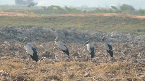 Close up from four Asian openbill storks