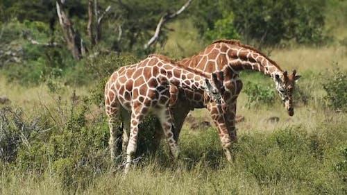 Wild giraffes fighting near the bush, Kenya, Africa