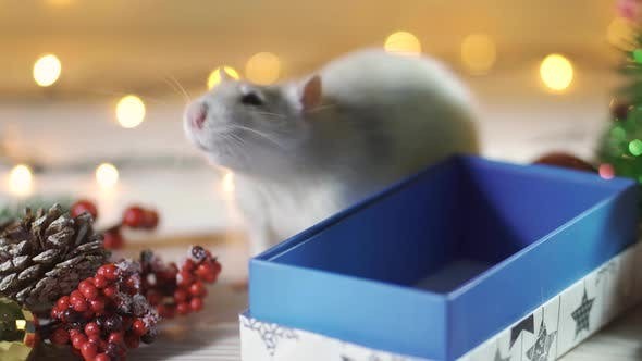 Cover Image for Cute White or Gray Rat in a Gift Box on the Background of Christmas Decorations. Concept - a Symbol