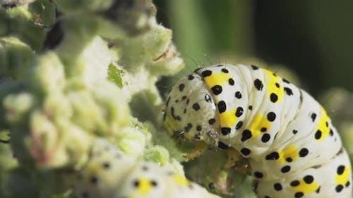 Large White Caterpillar