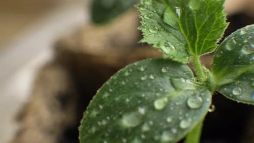Young Green Plant Seedlings with Raindrops Growing in Pots