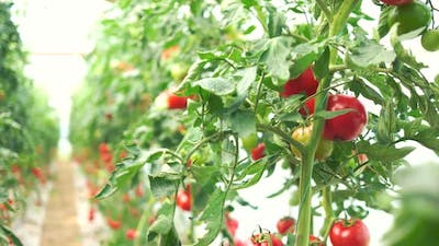 Rows of Tomato Plants with Ripe Tomatoes