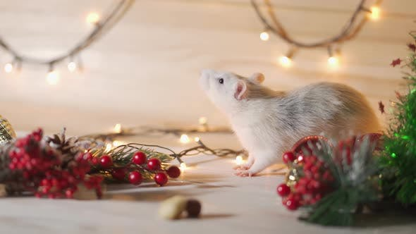 Thumbnail for Symbol of 2020, the Rat Sits on the Background of a Christmas Tree Decorated.