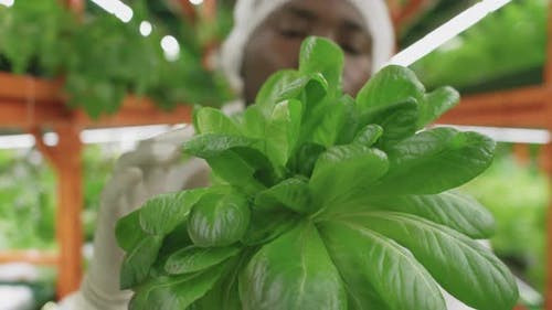 Agroengineer Inspecting Spinach Seedlings